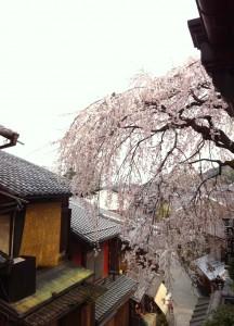 二年坂の桜